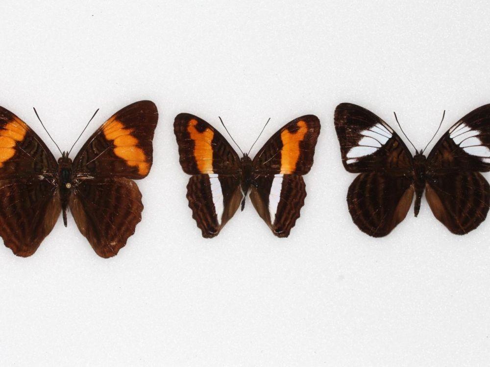 papillons adelpha
