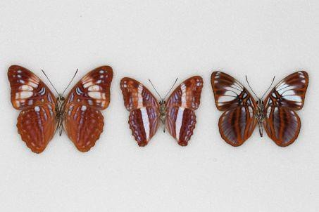 papillons non toxiques