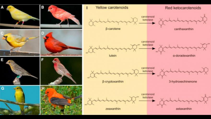 couleur_rouge chez les oiseaux
