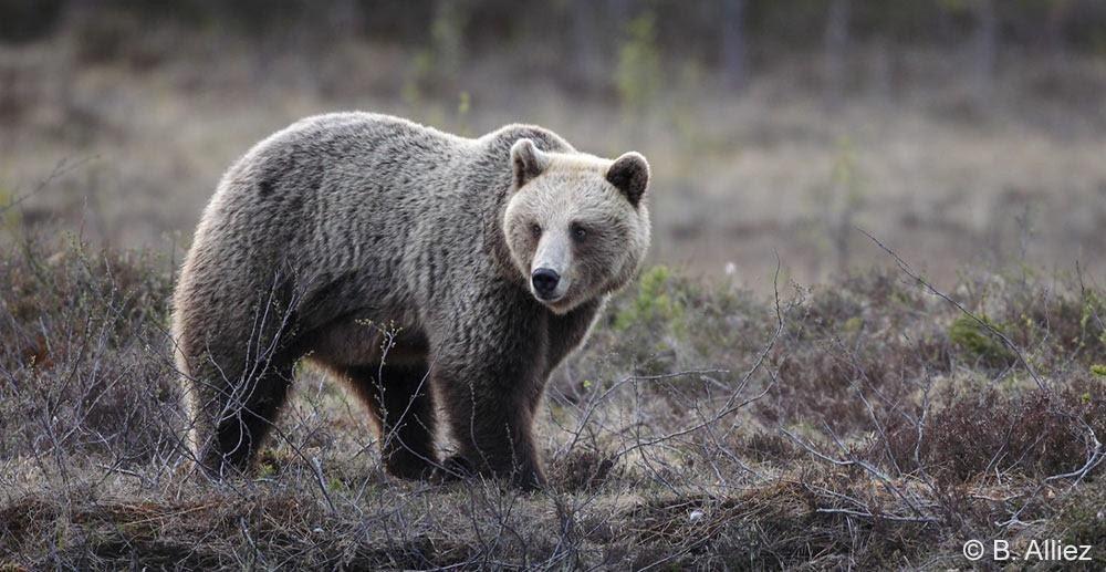 effarouchement des ours