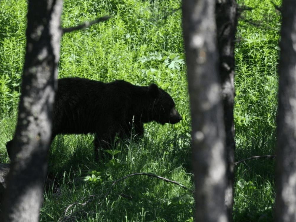 non à l'effarouchement des ours