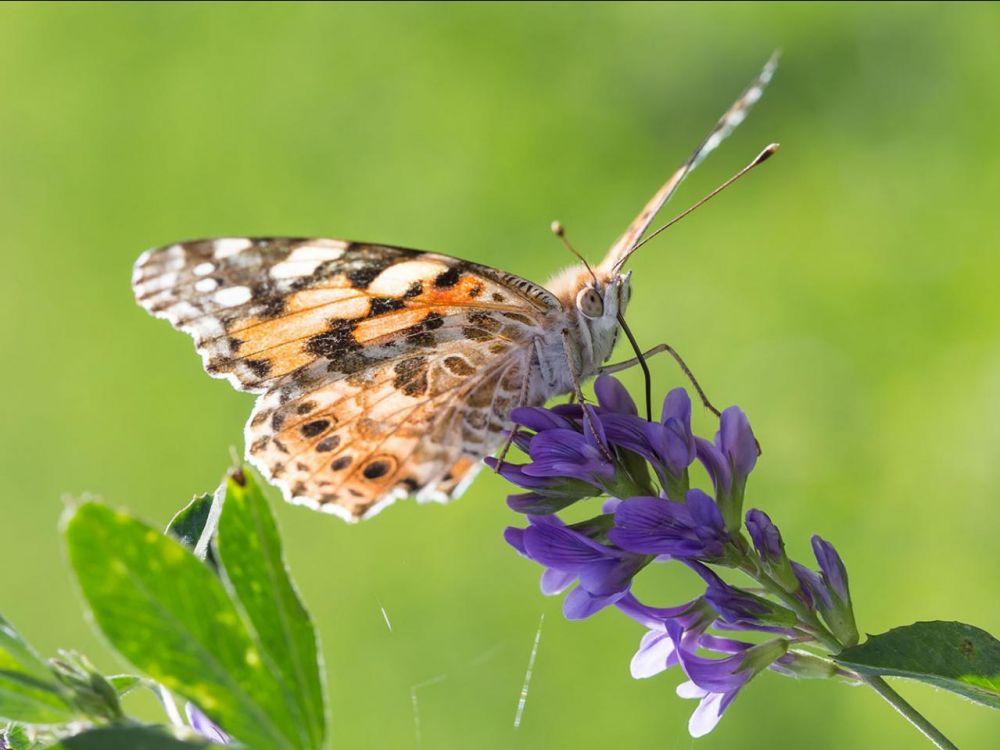 papillon: belle dame