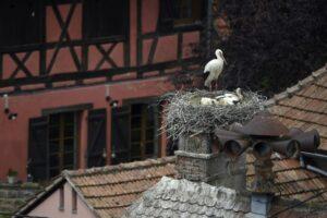 cigognes en Alsace 1