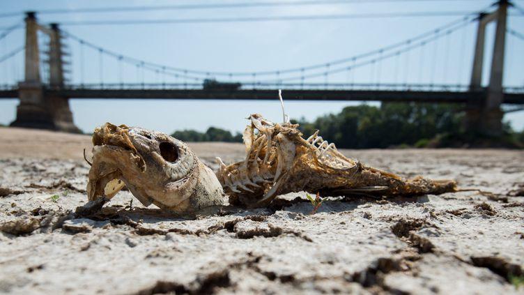 poisson mort sur les rives de la loire