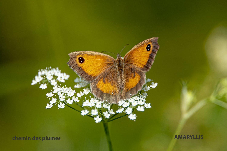 papillon : amaryllis