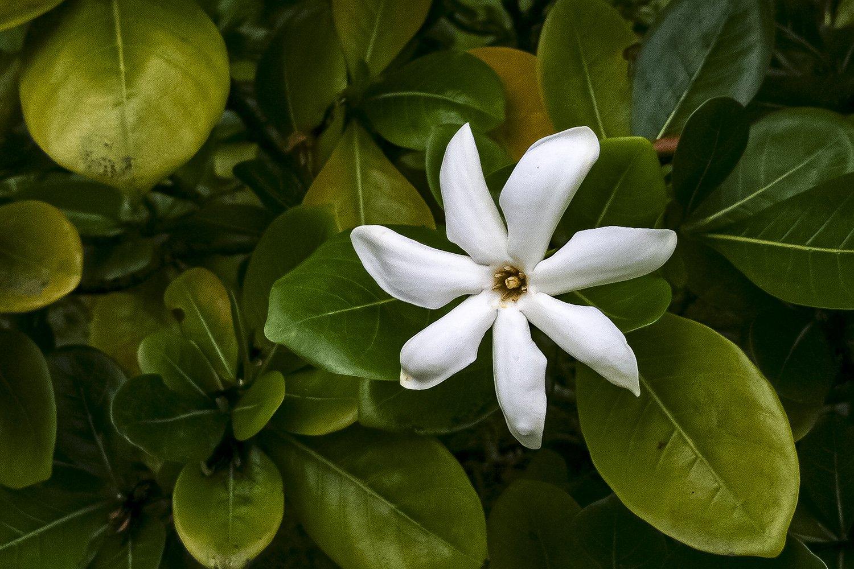 fleur de tiaré: emblème national