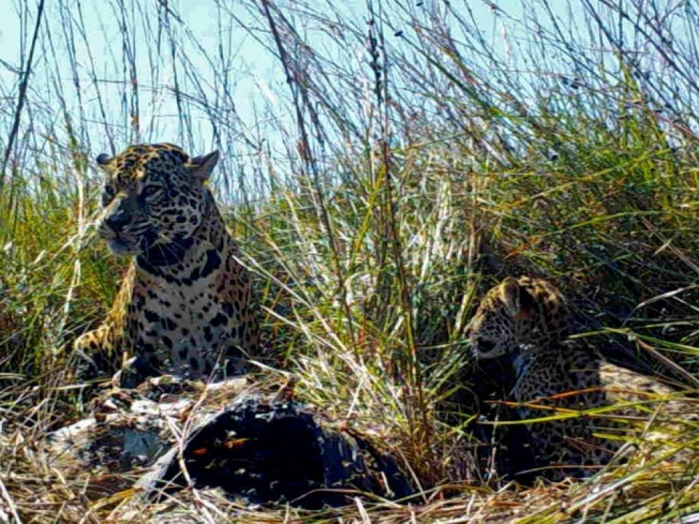 jaguar en argentine