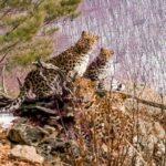 léopard de l'amour