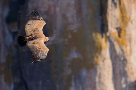 vautour fauve