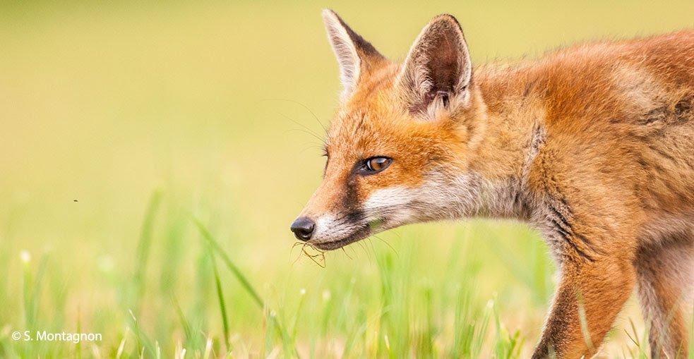 réintroduire le renard