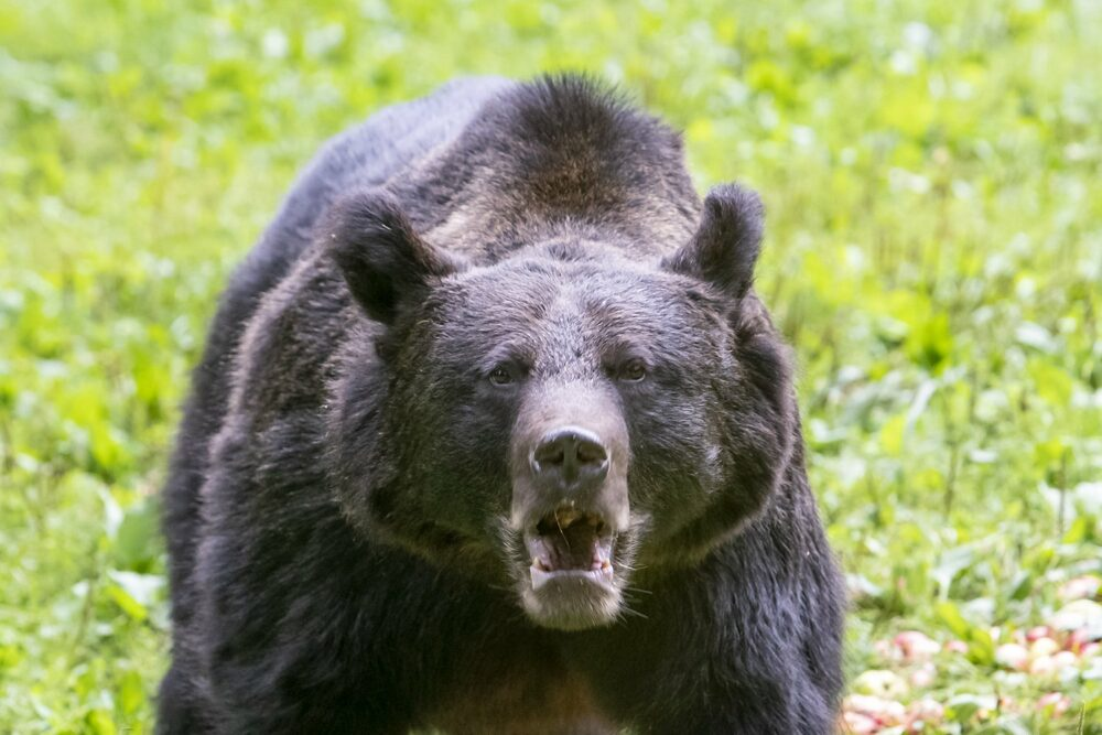ours brun de roumanie